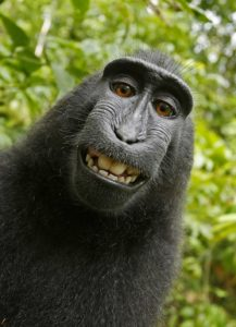 A macaque looks directly at the camera and grins broadly.