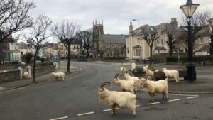 During pandemic lockdowns, animals have ventured into cities around the world. This herd of mountain goats in Wales boldly occupies empty city streets.